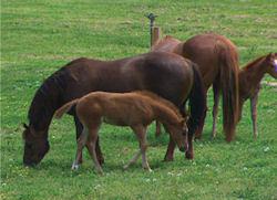 mares_foals