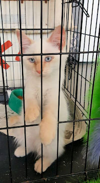 Adopt a kitty from Clearlake Animal Control