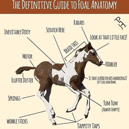 fun foal anatomy